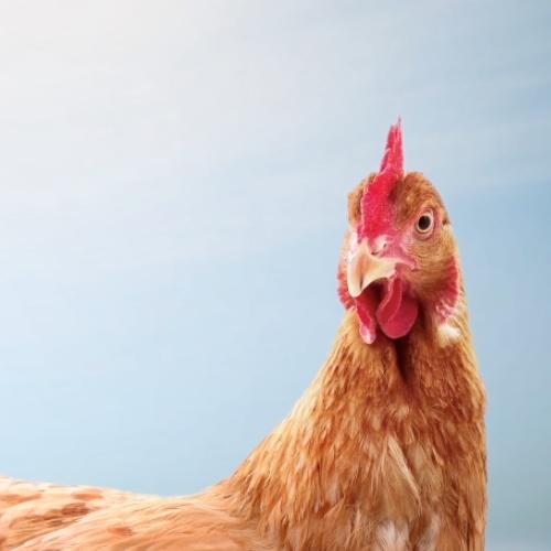 Huevos de gallinas criadas en el suelo